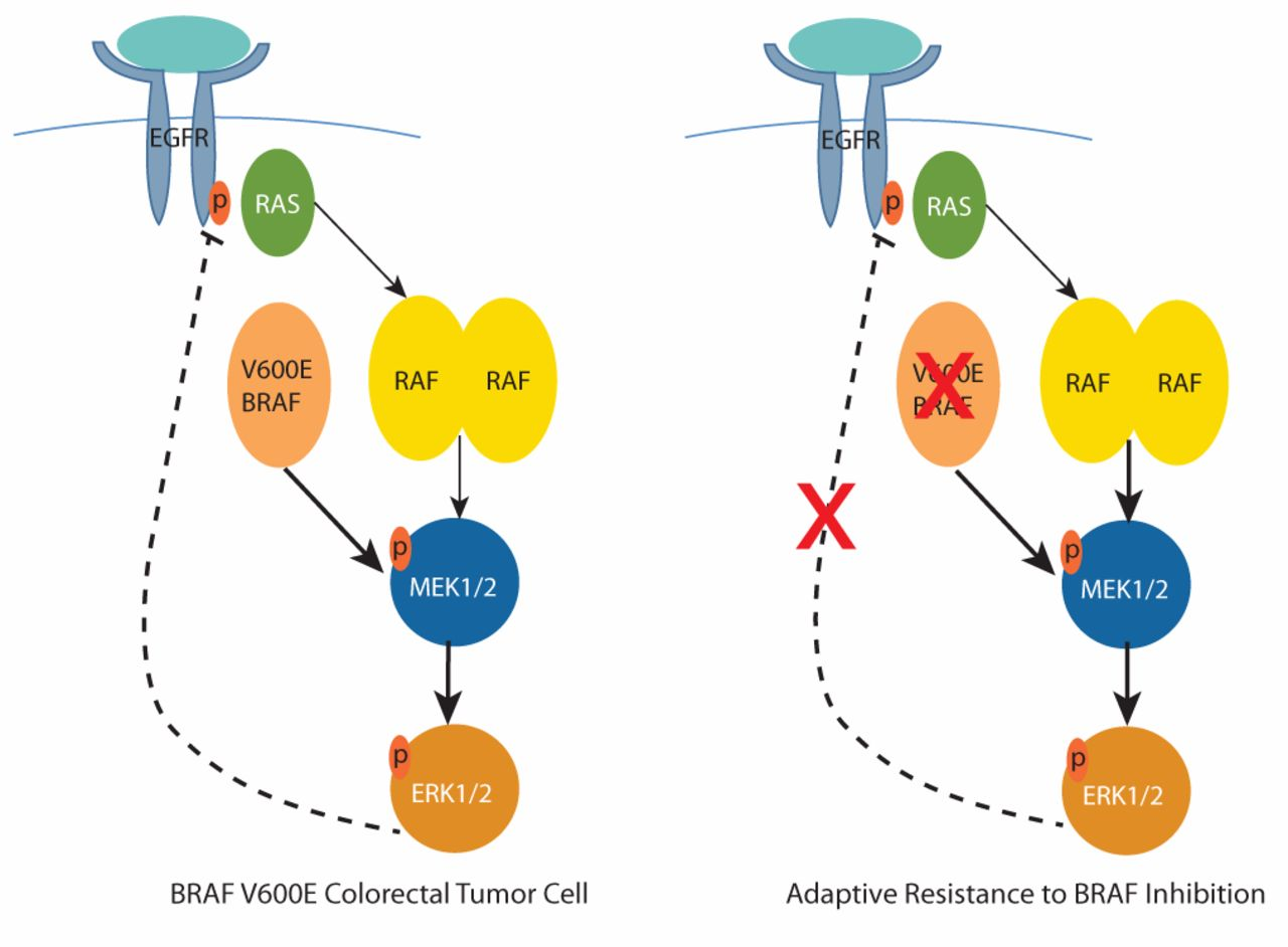 Braf Mutations In Colorectal Cancer Clinical Relevance And Role In Targeted Therapy In Journal Of The National Comprehensive Cancer Network Volume 10 Issue 11 2012